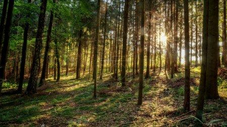 Photo pour Matin d'été a enchanté forrest en Allemagne. rayons du soleil qui brille à travers les bois - image libre de droit