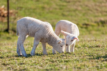 two cute white lambs