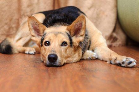 Dog lying on the floor