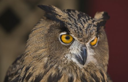 Photo for The Eagle Owl is a very large and powerful bird, sometimes referred to as the world's largest owl - Royalty Free Image