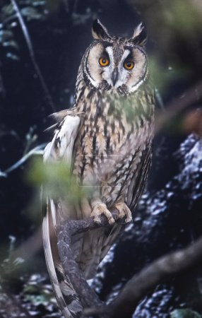 Long-eared Owl perched