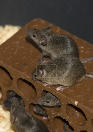 Mice on brick