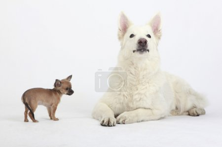 White German Shepherd Dog and cute Chihuahua Puppy