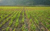 Row of sapling on vegetable field