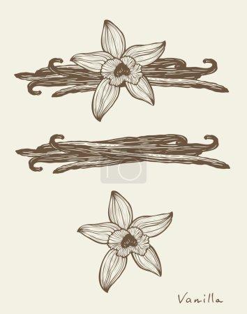 Illustration pour Vanille belles fleurs et haricots, vecteur - image libre de droit