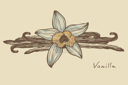 Illustration pour Vanille belle fleur et haricots, vecteur, version couleur - image libre de droit