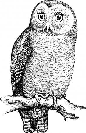 Illustration pour Hibou dessiné à la main, illustration vectorielle isolée en noir et blanc - image libre de droit