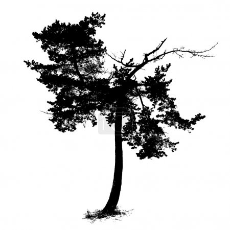 Pine tree with dead top