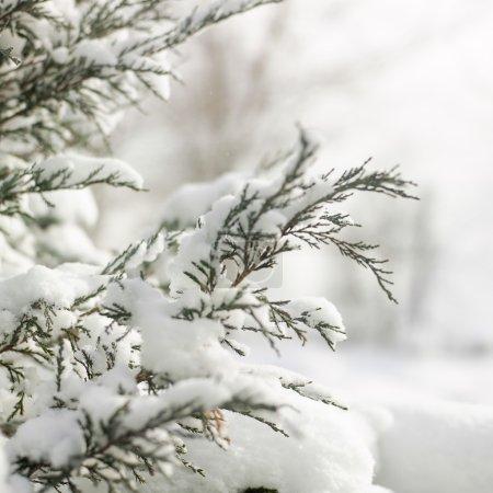 tallos de pino en la nieve