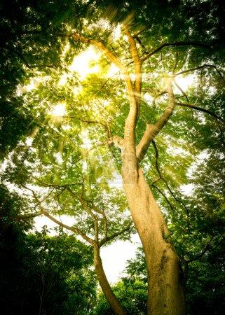 Sun Light Pass Through Green Leaf