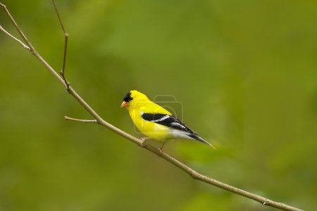 American Goldfinch Bird in a natura Perch
