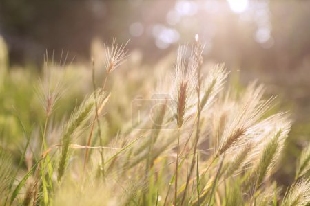 Photo for Sunshine grass - Royalty Free Image