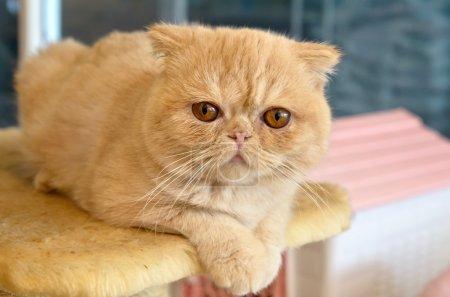 Orange Exotic Shorthair on a Cat Condo