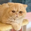 Orange Exotic Shorthair on a Cat Condo in a Cafe...
