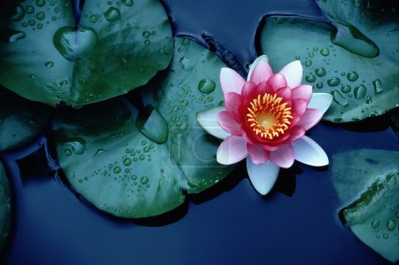 Brightly Colored Water Lily or Lotus Flower Floating on Deep Blue Water Pond