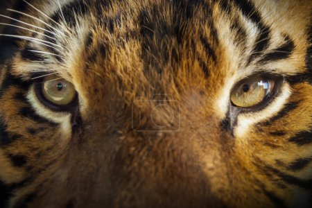 Photo for This large, powerful Malayan Tiger put his nose against the protective glass where I was seated. Late afternoon sun lit this close up portrait. - Royalty Free Image