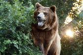Velký medvěd grizzly s nastavením slunce a těžký foilage