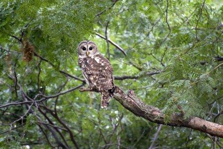 Foto de Este salvaje barred owl relojes intensamente como lo contacté tranquilamente en una caminata temprano por la mañana en una zona de vida silvestre. - Imagen libre de derechos