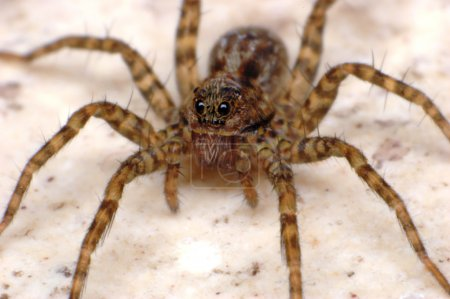 Wolf spider - fear macro close up