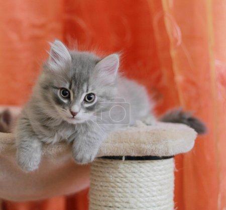Photo pour Vue d'un animal de compagnie de chaton sibérien sur la version de message, bleu se gratter - image libre de droit