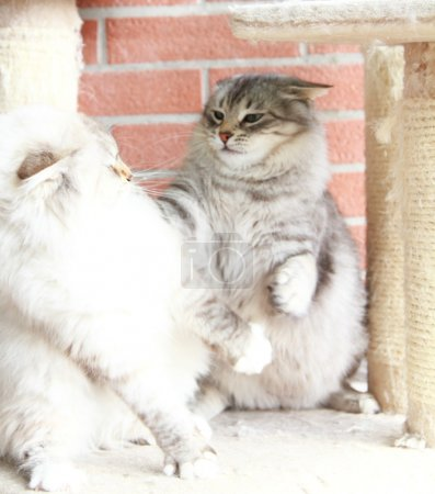 White neva masquerade and silver cats of siberian breed