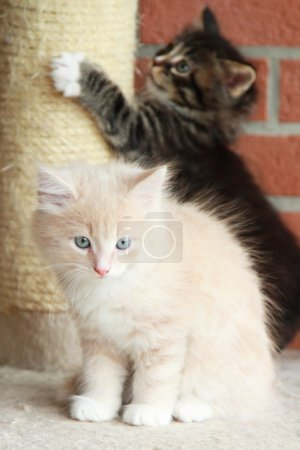 Puppies of siberian cats, brown and cream version
