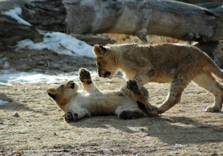 Photo pour Des lionceaux jouant au soleil de fin d'après-midi chez eux au zoo de Denver - image libre de droit