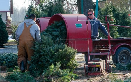 Wrapping trees at a Christmas tree farm