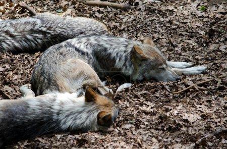 Photo pour Une meute de loups dort dans les feuilles chaudes par une journée ensoleillée - image libre de droit