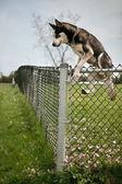 Pes skákání přes plot rezidence venkovní pes