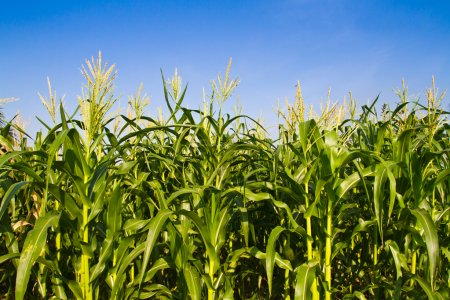 Granja de maíz contra el cielo azul