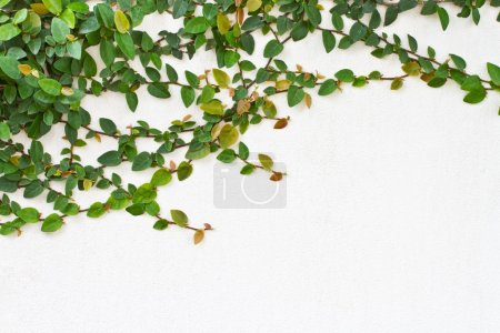 Green Creeper Plant on the white wall
