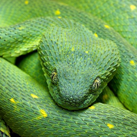 Head of green snake Atheris chlorechis