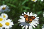 Monarch motýl na daisy