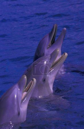 Photo pour Dauphins debout dans l'eau - image libre de droit