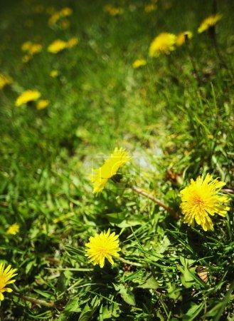 Photo pour Pissenlits dans l'herbe - image libre de droit