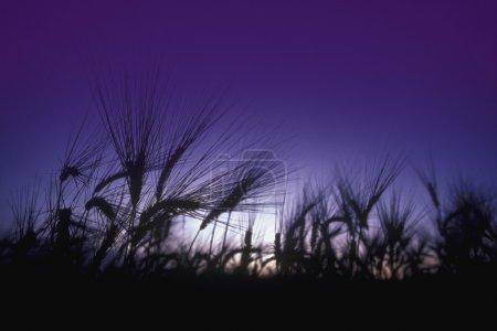Photo pour Herbe de champ avec soleil et ciel bleu - image libre de droit