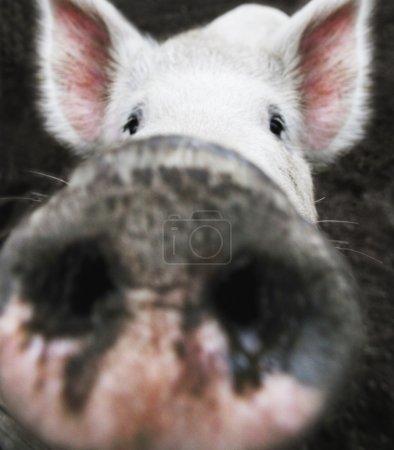 Closeup Of A Pig's Nose