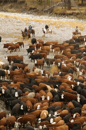 Cowboys On Cattle Roundup Southern Alberta Canada