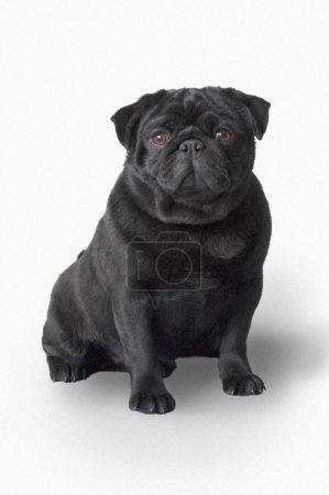 Pug Dog...