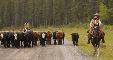 Cowboys On Cattle Round Up Southern Alberta Canada