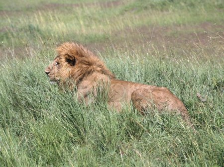 Male Lion In Tall Grass, Masai Mara National Reserve, Kenya, Africa