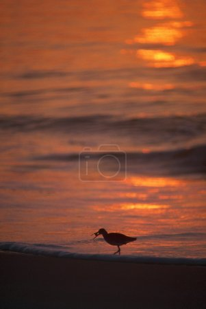 Silhouette Of Willet Seabird With Crab, Sunset Reflection, Assateague Island.
