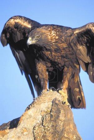 Perched Golden Eagle