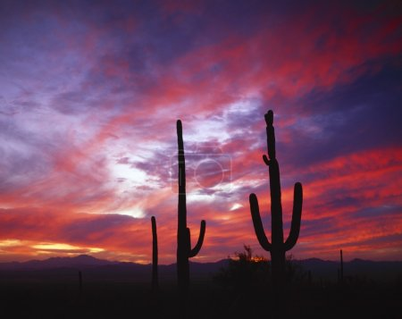 Photo for Cacti Silhouetted In The Sunset Sky - Royalty Free Image