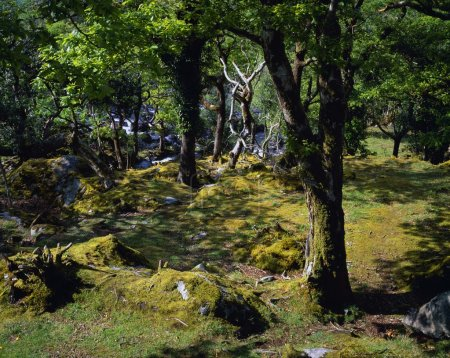 Forest Trees And Mosses, Killarney National Park