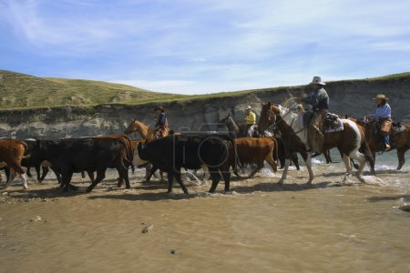 Leading Cattle Through Water