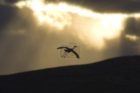 Silhouette Of Flying Sandhill Crane Against Sunset