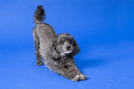Terri-Poo (Terrier, Poodle Cross). Dog In Downward Dog Position