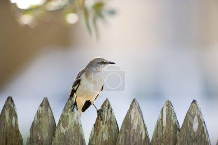 Close Up Of A Mockingbird Sitting On A Fence